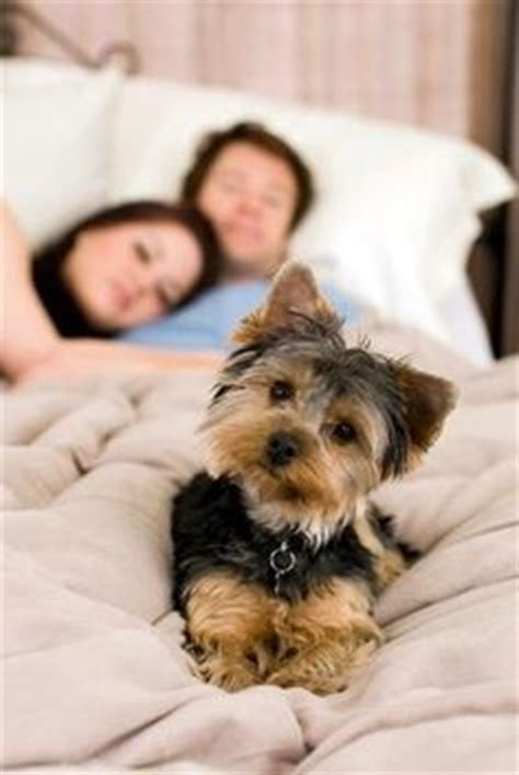 Lay On The Bed And Gimme by 1000 Images About Teacup Yorkies My Fave On