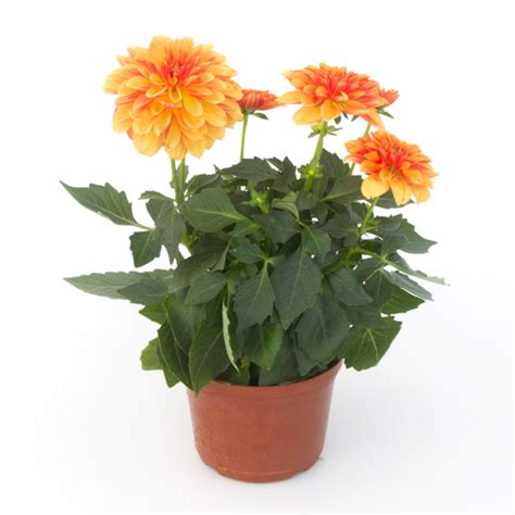 dalia in vaso como plantar d 225 lia em vaso flores cultura mix