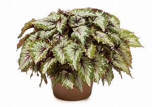 Begonia Rex Shadow King  U00ae  U2013 Green Fuse Botanicals Inc