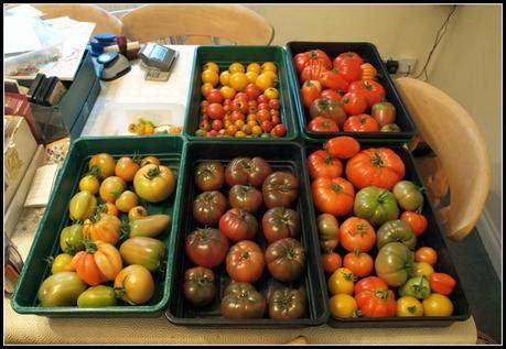 Windowsill Tomatoes by Tomatoes Ripening On The Windowsill Paperblog