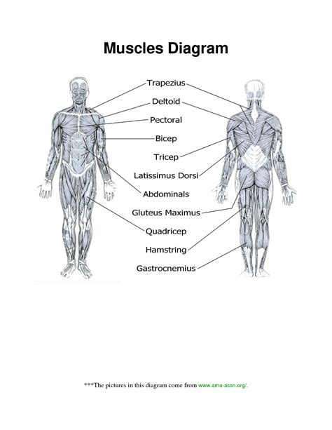 major groups worksheet archives human anatomy chart