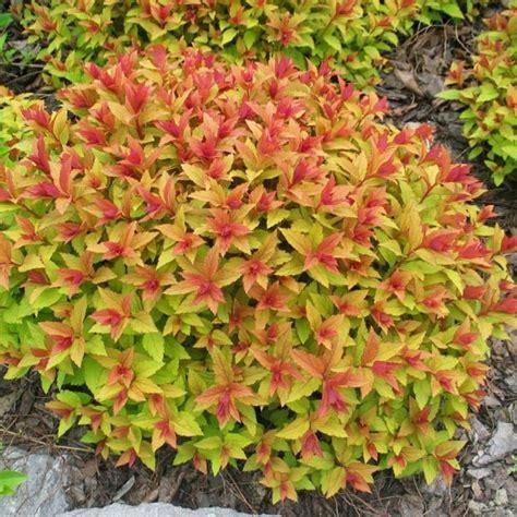 gold leaf spirea spiraea japonica goldflame gardening impulse