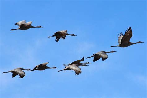 why do birds migrate bird migration