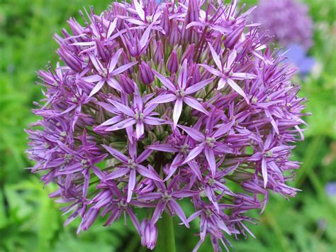 how to grow alliums saga