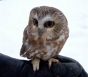 Types of Owls in Colorado   Western Screech Owl - Types of ...
