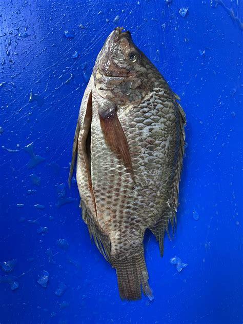 Black Tilapia Aandm Seafood Uk