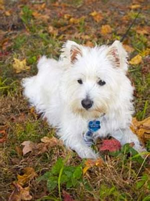 california westie rescue diet