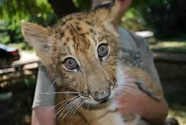 White Liger Cubs Molly The Cub  White Liger Cubs
