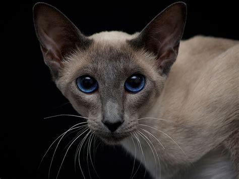 modern siamese cat cat breeds encyclopedia