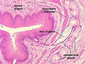 esophagus histology | Histo | Pinterest