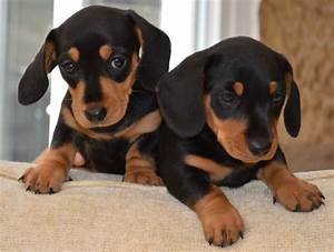 Miniature Smooth Haired Dachshunds | Mold, Clwyd | Pets4Homes