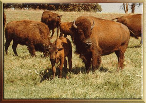 physical characteristics  bison