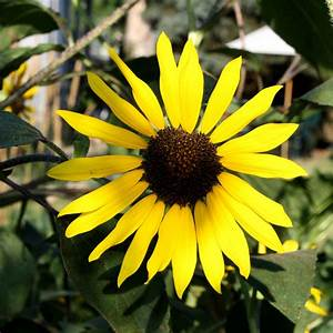 Yellow Sunflower Picture | Free Photograph | Photos Public ...