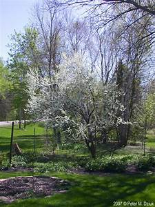 prunus nigra canada plum minnesota wildflowers