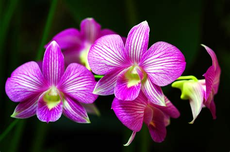 the orchid caring for orchids not as hard as you think