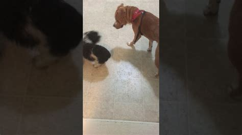 Small Dog Makes Big Dog Look Like A Pussy Youtube