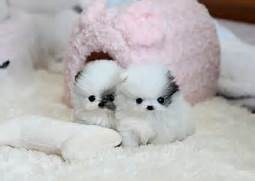 Black Teacup Maltese Puppies for Pinterest  Black Teacup Maltese Puppies
