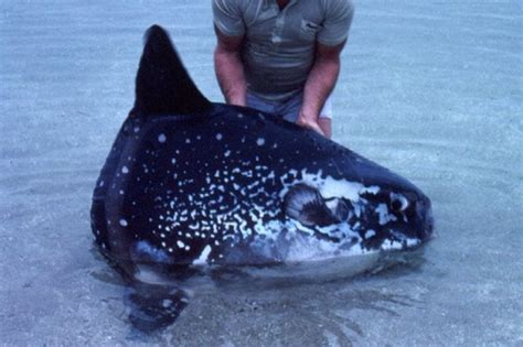giant fish discovered