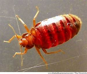 Bedbugs in san francisco but don39t panic sfgate for Bed bugs san francisco