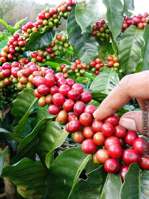 It makes a surprisingly good potted indoor plant. REAL Kona Coffee Bush, Coffea Arabica - Kens-Nursery