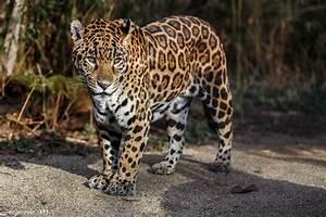 Look jaguar wild cat predator spots wallpaper   2048x1365 ...