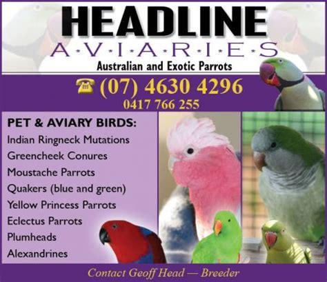 headline aviaries eclectus parrot eclectus roratus