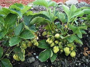 Ab Wann Erdbeeren Pflanzen : erfahren sie hier alles ber erdbeeren pflanzen pflegen und ernten ~ Eleganceandgraceweddings.com Haus und Dekorationen