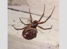 Black Widow Spider Homes 6