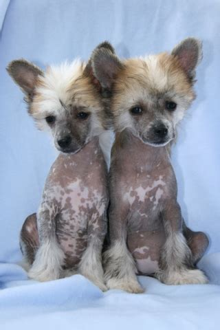 chinese crested breed description history  overview