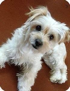 Twinkie | Adopted Dog | Los Angeles, CA | Maltese/Yorkie ...
