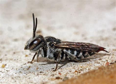 wildbienen teil  wildbienen teil  bienenarten arten