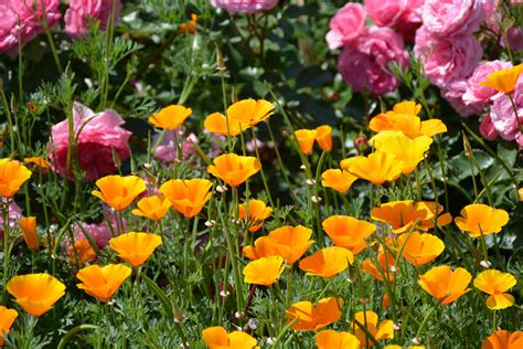 poppy flower garden free images field meadow petal flora wildflower flower garden flowering plant orange