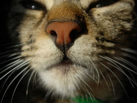 cat noses nose cats animal cold commons science mammals why wet file primates places cute wiki wikipedia dry aye strepsirrhine