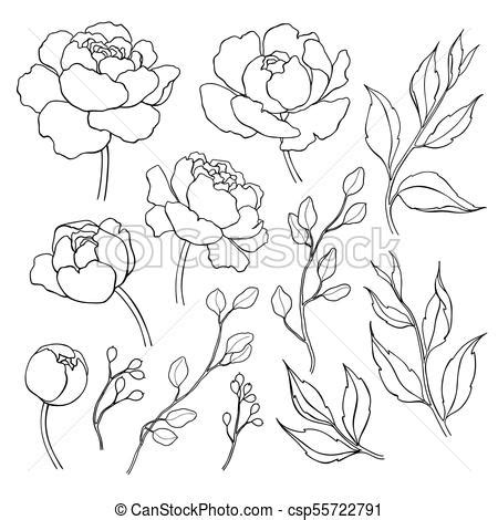 peony flower  leaves  drawing vector hand drawn