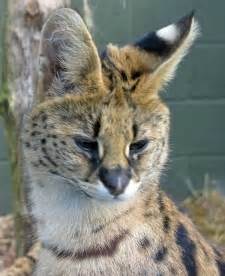 File:Leptailurus serval -Trotters World of Animals ...