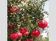 34 Year Old Wonderful Pomegranate Tree