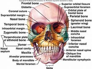 Lecture 10: Axial Skeleton II and Appendicular Skeleton