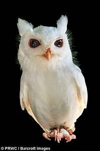 Born Different  Luna The Albino Screech Owl