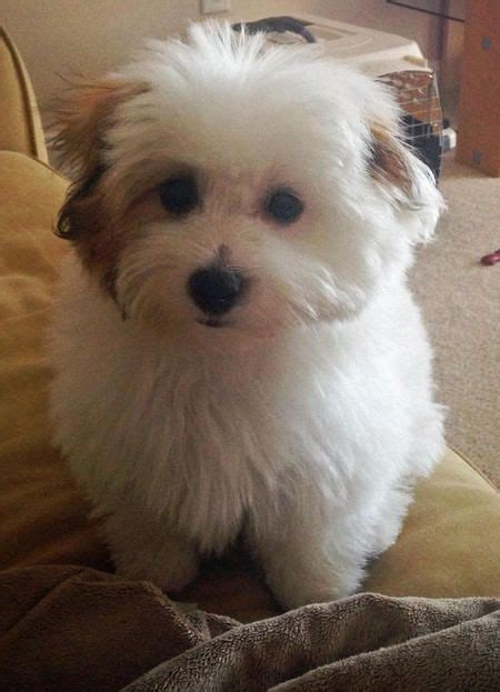 ideas  coton de tulear  pinterest small