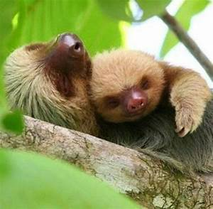 Cuddling sloths | beautiful creatures | Pinterest