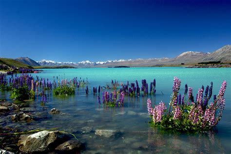 Russell Lupins In Lake Tekaponz Lake Tekapo Is The