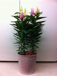 Fleur De Lys Plante : fleuriste isabelle feuvrier le lys en pot ~ Melissatoandfro.com Idées de Décoration