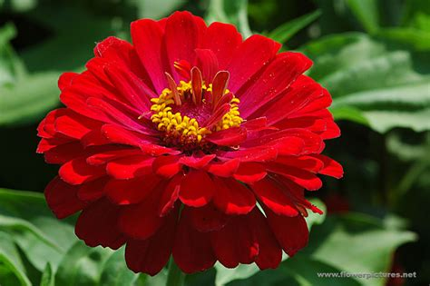 picture flower zinnia flower picture