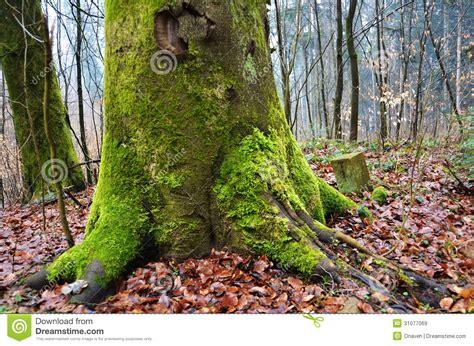 la mousse a couvert le tronc d arbre images libres de droits image 31077069