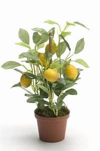 Planter Un Citronnier : astuce voici comment faire pousser un citronnier la ~ Melissatoandfro.com Idées de Décoration