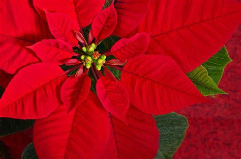 weihnachtsstern oder poinsettia euphorbia pulcherrima