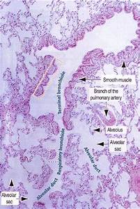 Now  Let U0026 39 S Look At A Section Of A Human Lung