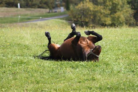 kolik beim pferd