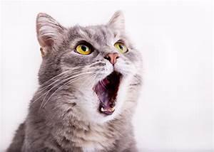 Weißer Wurm Katze : hintergrundbilder tiere katze z hne schnauze blick lustige wei er ~ Markanthonyermac.com Haus und Dekorationen