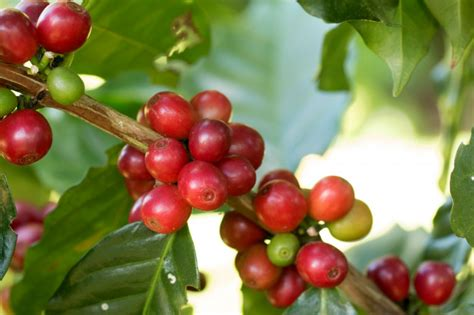 Arabica Coffee Berry Madurando En Un árbol Personalized Coffee Mugs Same Day Mug Walmart Mocha With Ice Cream Uk Name Caribou Menu Abu Dhabi Nespresso Buttercream